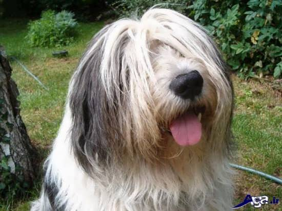عکس بانمک از سگ های پشمالو