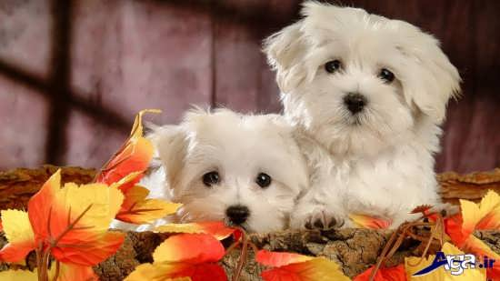 تصاویر سگ های پشمالوی زیبا و بانمک