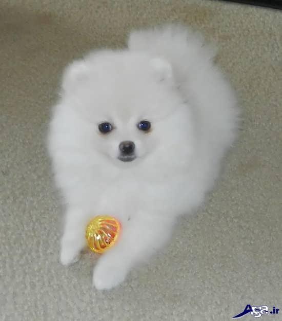 تصویر سگ های پشمالو