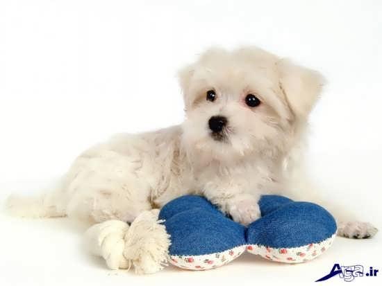 تصویر سگ های زیبای پشمالو