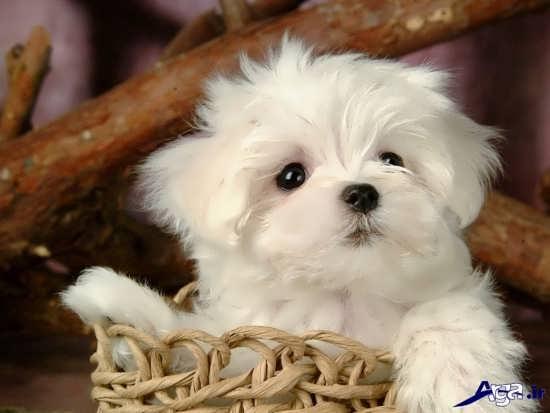 عکس سگ پشمالوی زیبا و بانمک