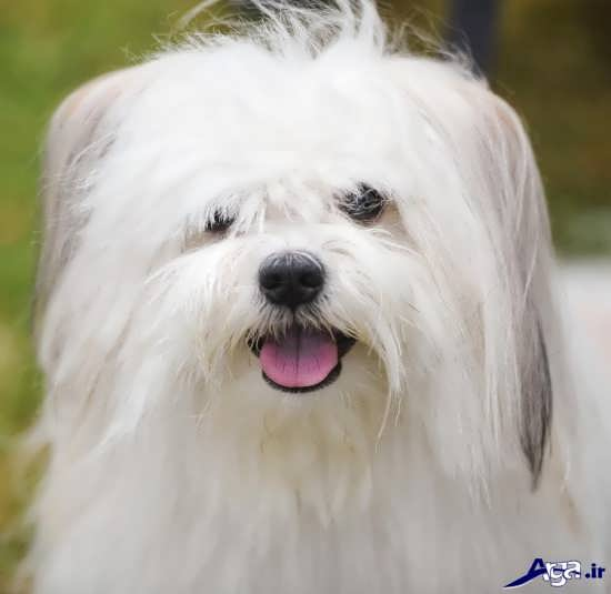 عکس سگ پشمالوی سفید