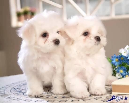 سگ پشمالوی زیبا و بانمک