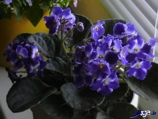 گلهای آپارتمانی بنفشه آفریقایی