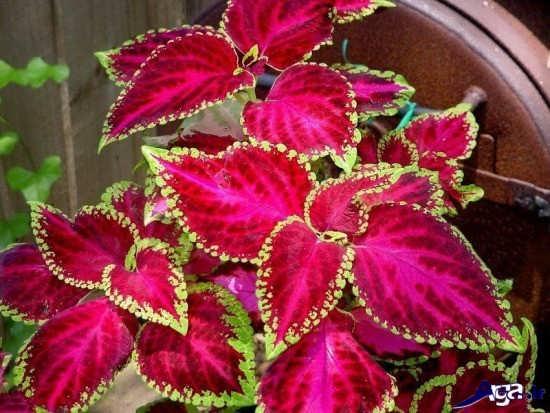 انواع گل زیبای حسن یوسف