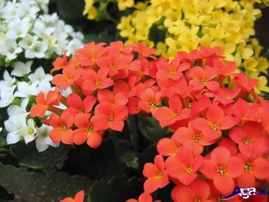 انواع و اقسام گلهای آپارتمانی زیبا