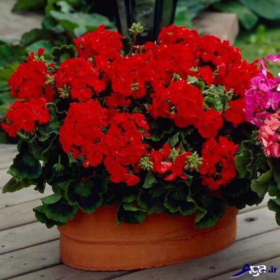 گل های تزئینی و آپارتمانی