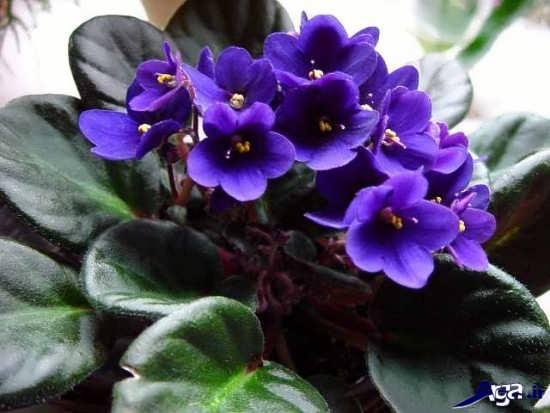 انواع گل بنفشه آفریقایی