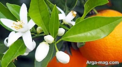 فواید شگفت انگیز بهار نارنج