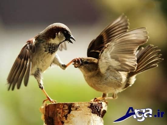 عکس پرنده های عاشق در طبیعت