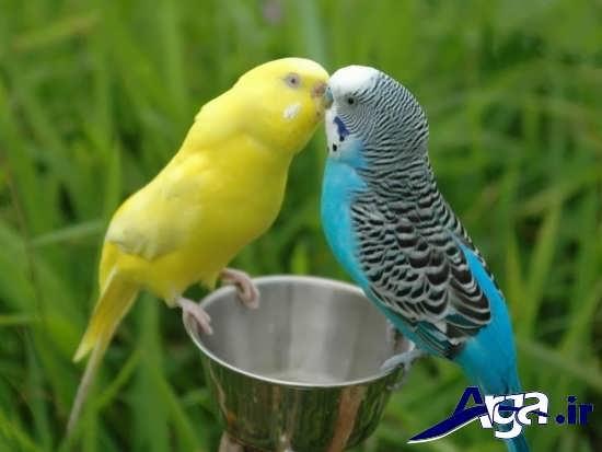 تصاویر پرنده های عاشق در طبیعت