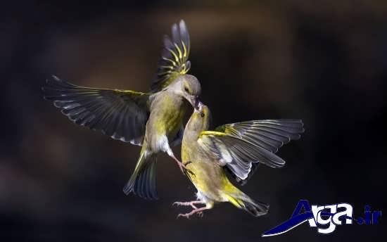 عکس پرنده های عاشق و جذاب در طبیعت