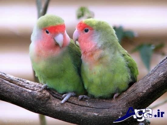 عکس های پرندگان عاشق