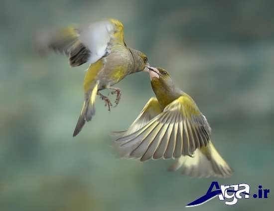 عکس های زیبا و جذاب از پرندگان عاشق