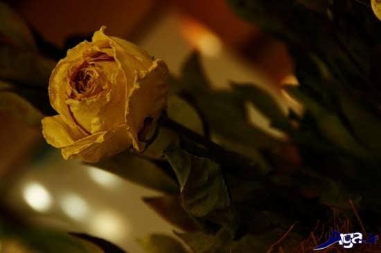 عکس گل خشکیده