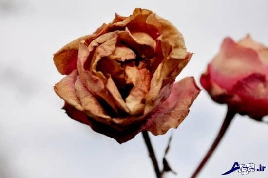 عکس گل های زیبای پژمرده