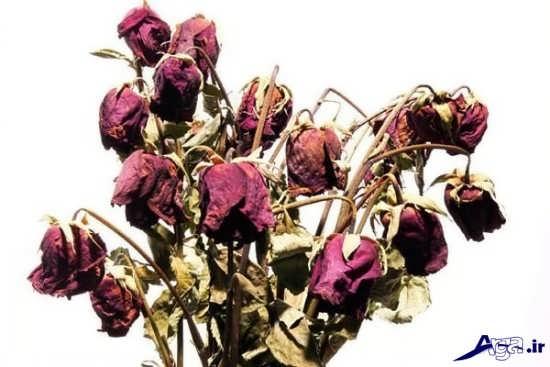 گل های خشکیده بسیار زیبا