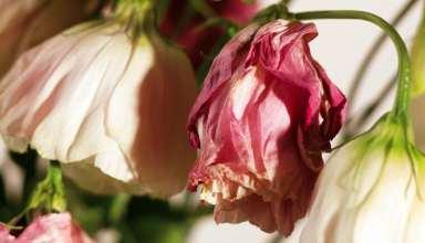 عکس گل پژمرده بسیار زیبا