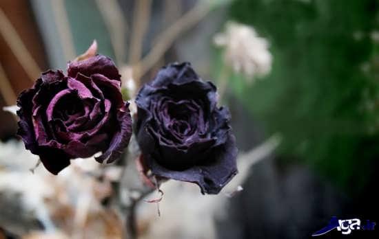 عکس گل پژمرده و جذاب
