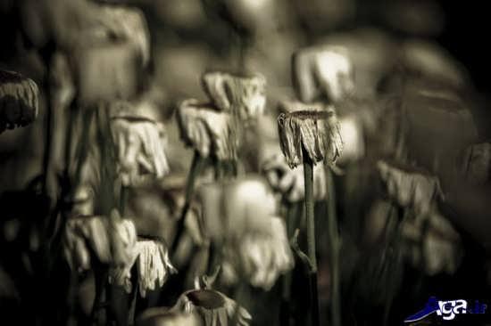 تصویر گل های پژمرده زیبا و جذاب