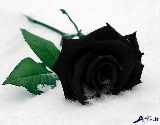 گل زیبای رز سیاه و بسیار جذاب