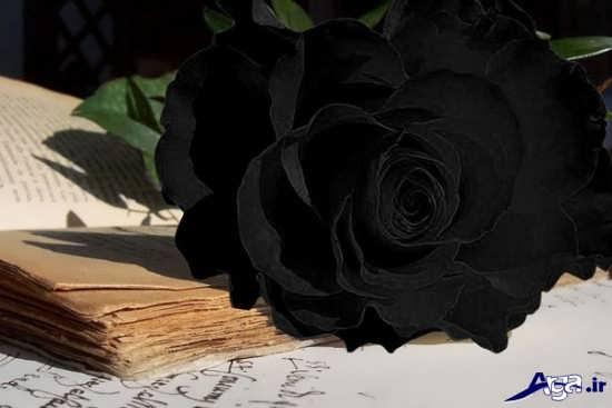 عکس گل رز سیاه بسیار زیبا