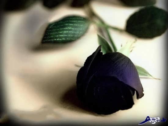 گل رز سیاه بسیار زیبا