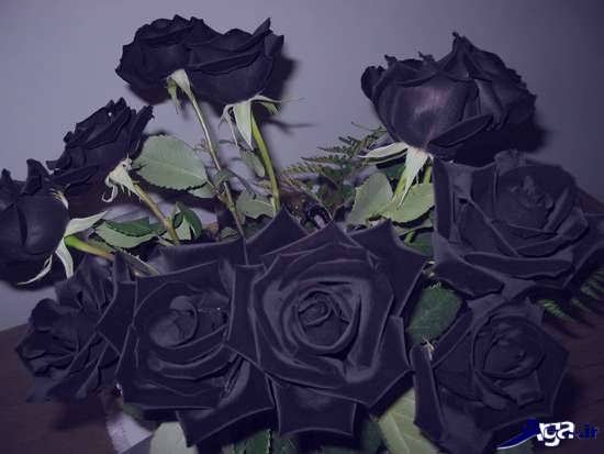 گل های زیبا و جذاب رز سیاه