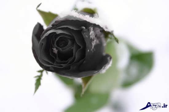 عکس گل رز سیاه بسیار زیبا و جذاب