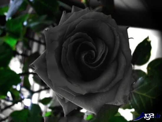 عکس گل رز سیاه زیبا
