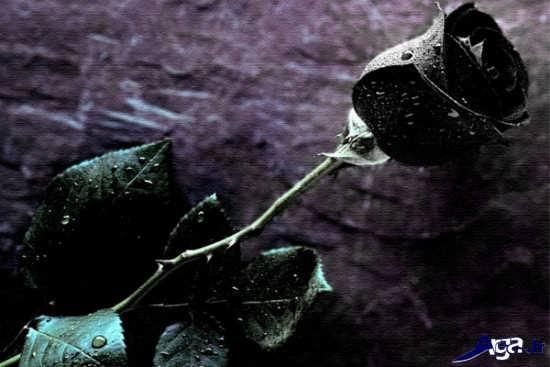 گل های رز زیبا و جذاب