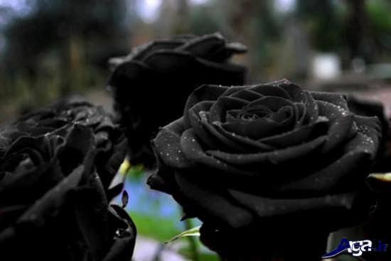 عکس گل های زیبا و جذاب رز سیاه