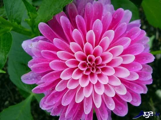 تصاویر گل های بسیار زیبا
