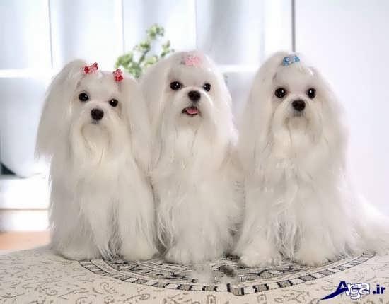 سگ های پا کوتاه پشمالو