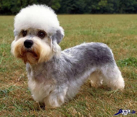 عکس سگ پاکوتاه زیبا