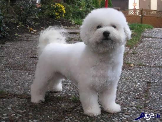 سگ پا کوتاه سفید