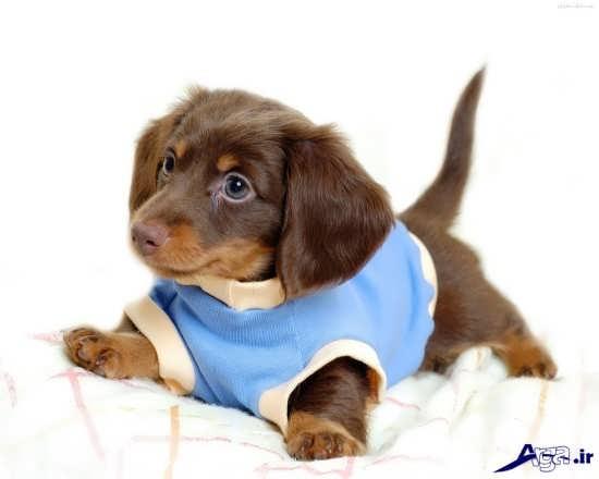 سگ پا کوتاه خانگی