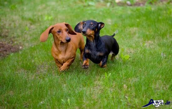 عکس سگ های پا کوتاه بامزه
