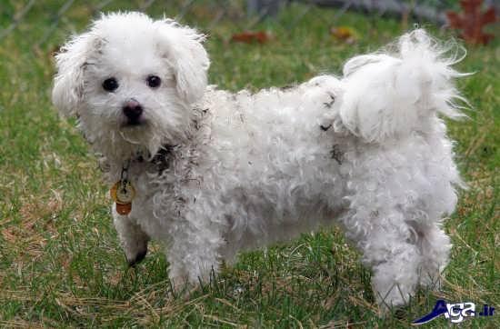 عکس سگ پا کوتاه پشمالو و سفید