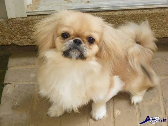 عکس سگ پا کوتاه زیبا