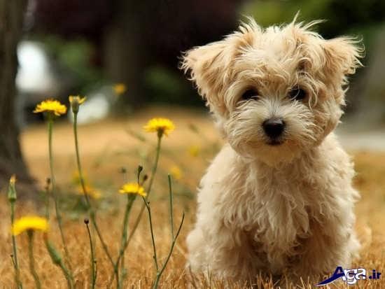 عکس سگ پشمالوی پا کوتاه