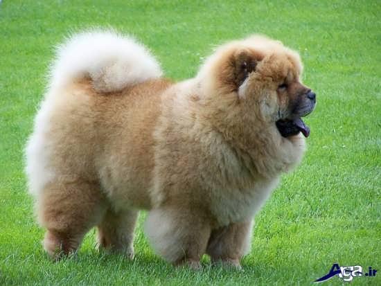 عکس سگ خانگی پا کوتاه