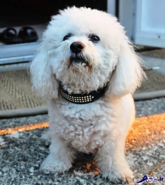 سگ پا کوتاه با نمک و زیبا
