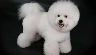 عکس سگ پا کوتاه پشمالو