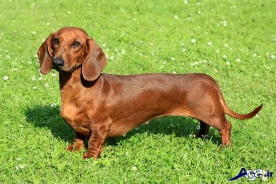 سگ پا کوتاه زیبا