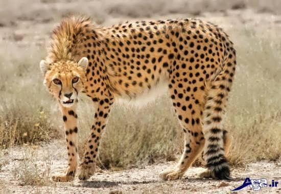 عکس های یوزپلنگ ایرانی