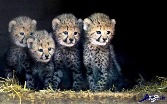 عکس بچه های یوزپلنگ