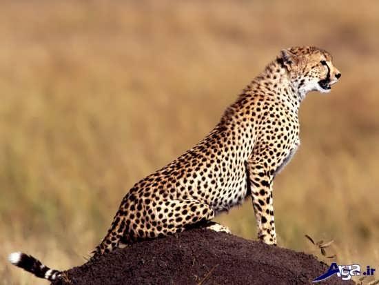 عکس از یوزپلنگ زیبا