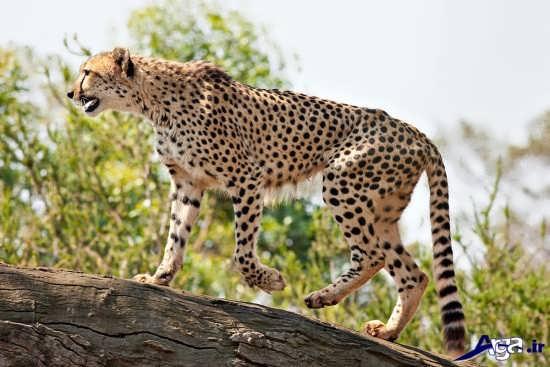 عکس از زیباترین یوزپلنگ ایرانی
