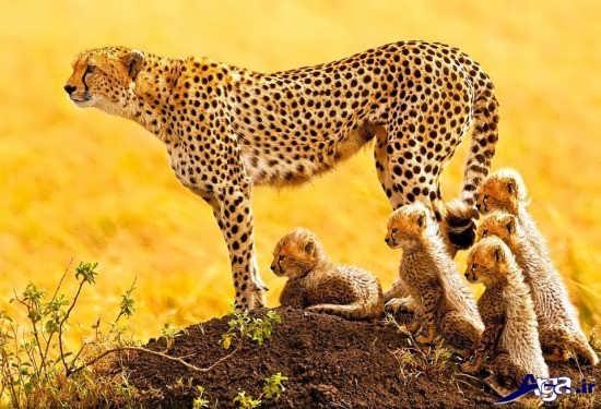 عکس یوزپلنگ آسیایی